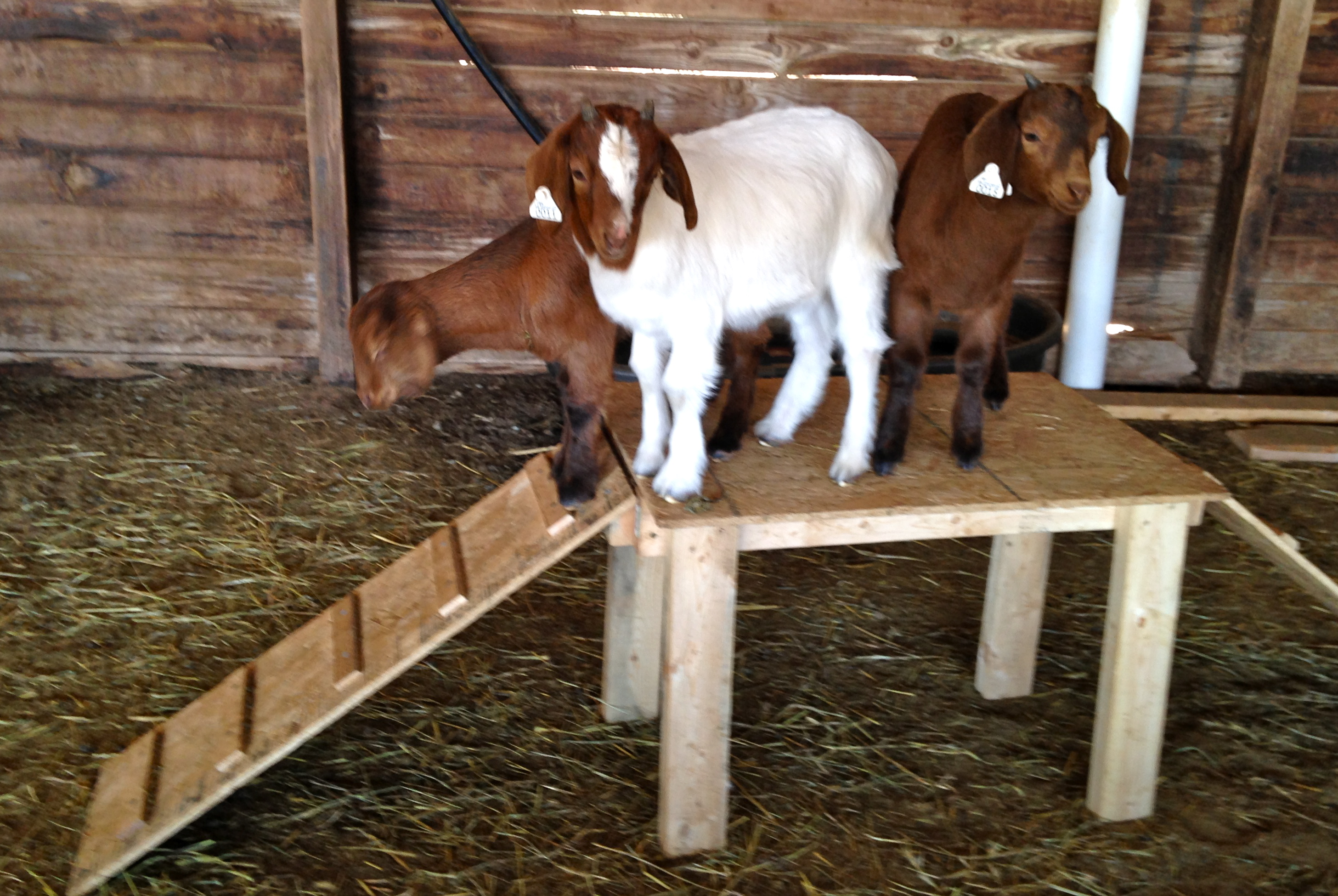 google goat feeder for goats feeders got round pinterest grain search hay pallets bale pin