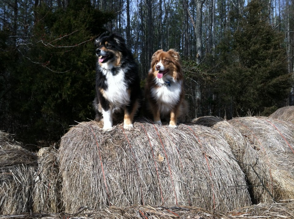 Snickers & Doodles-Pride of Middle Fork Farm