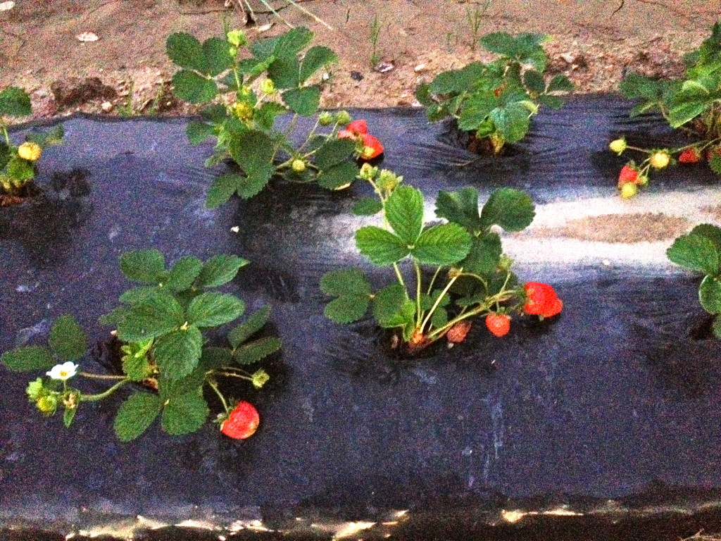 Middle Fork Farm strawberries