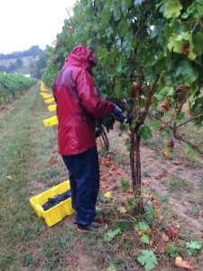 Beth harvesting in the rain